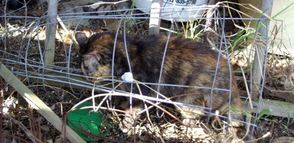 cat in wire tomato cage