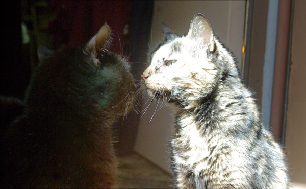 black cat and tortie cat nose to nose