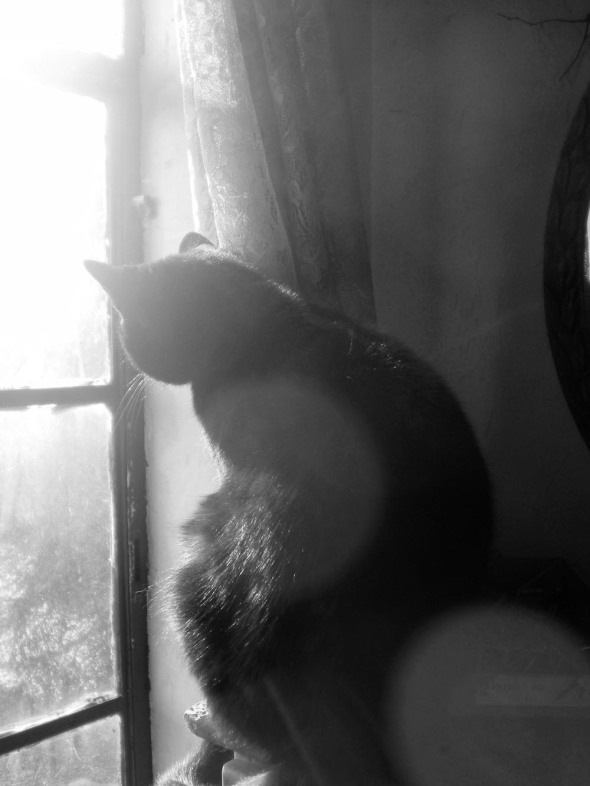 black and white photograph of black cat looking out sunny window