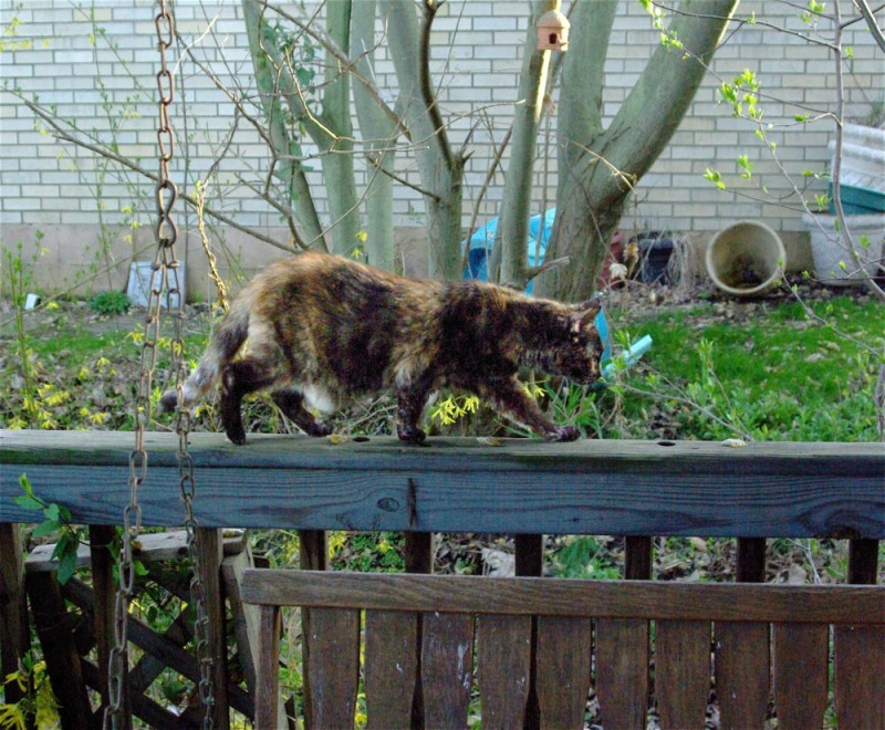 tortie cat on deck railing