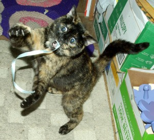 tortie cat with blue ribbon
