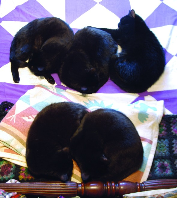 five black cats on the bed