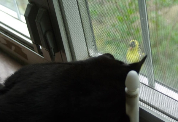 black cat with goldfinch
