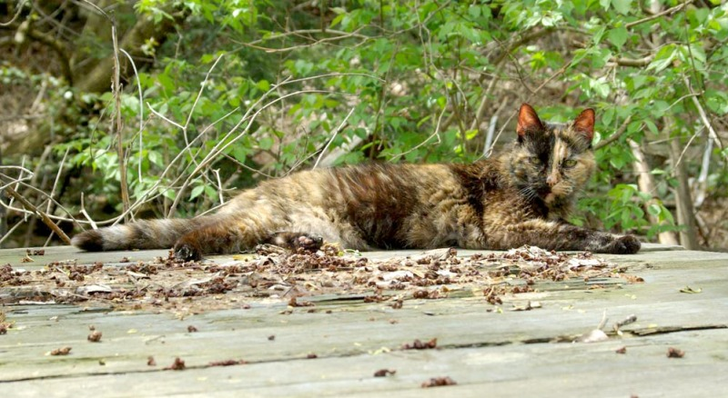 tortie cat on picnic table