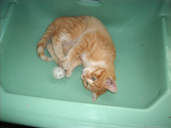 orange kitten with ball in sink