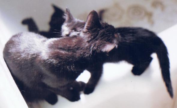 black cat washing black kitten