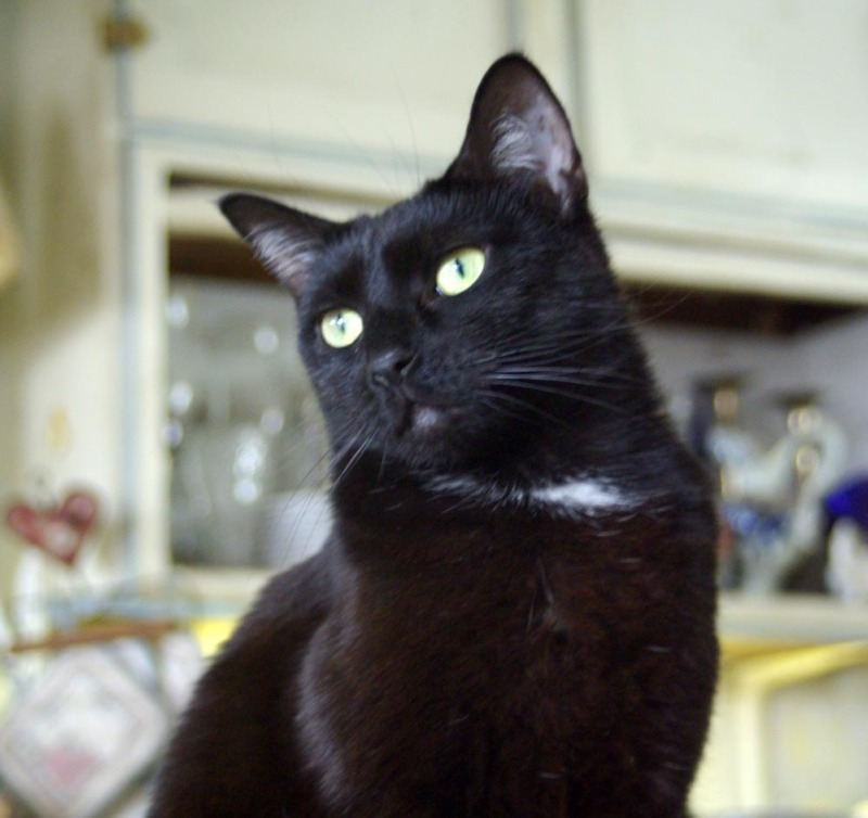 black cat with white spot