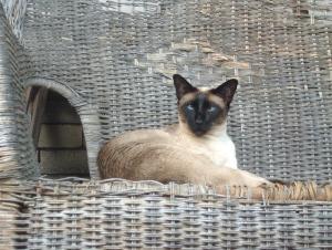 Siamese cat on char