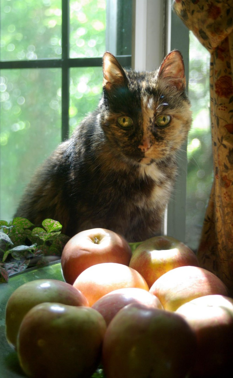 tortie cat with apples