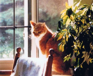 orange cat in sunshine