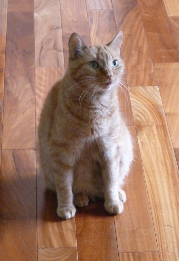 orange cat on wood floor