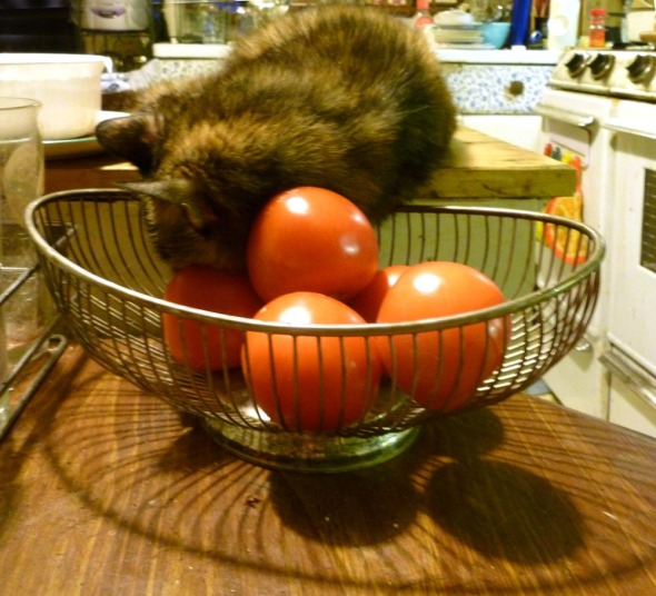cat sleeping with her head in tomatoes