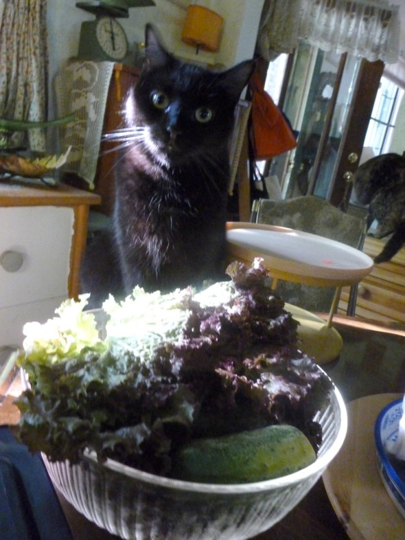 black cat with lettuce bowl