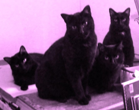 four black cats in purple
