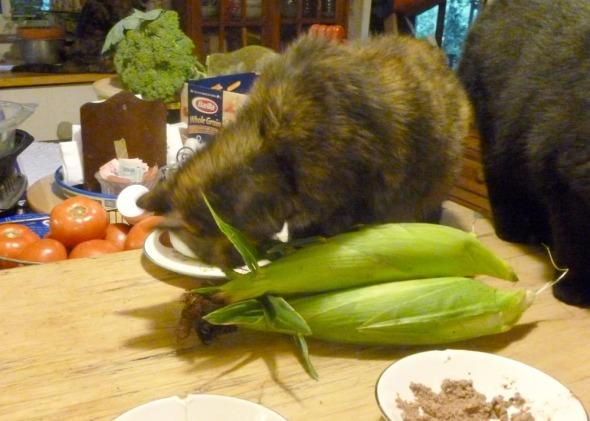 tortie cat chewing on corn husks