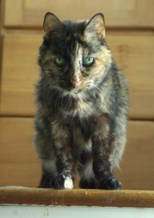 tortie cat on steps