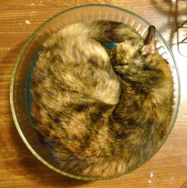 cat in salad bowl from above