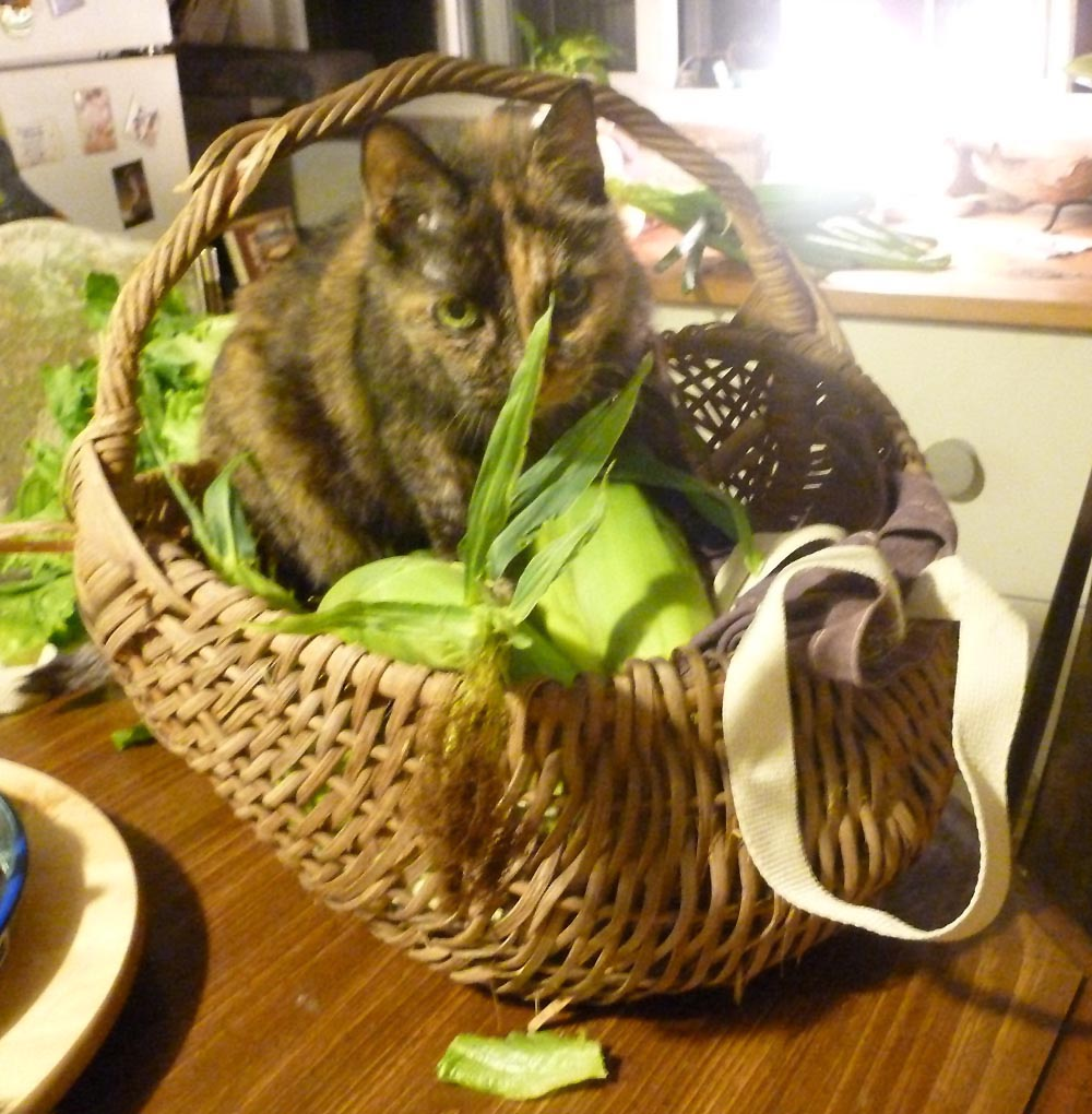 torti cat in basket with corn