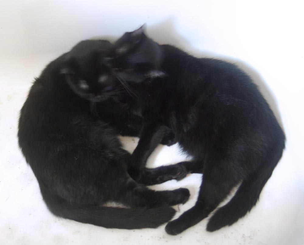 black cat washing other black cat