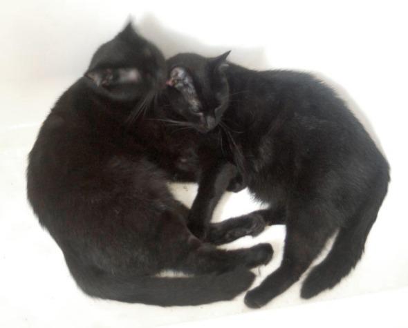 black cat washing other black cat