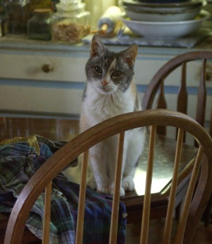 calico cat on table
