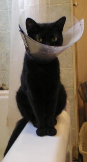black cat with plastic collar