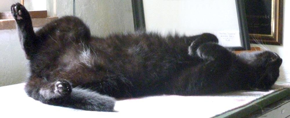 black cat lying on back