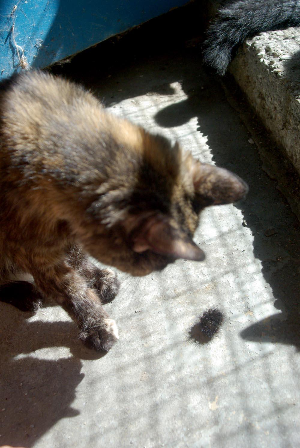tortie cat looking at caterpillar