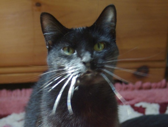 black cat with whiskers