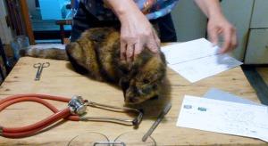 tortie cat examined