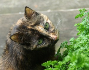tortie cat with parsley