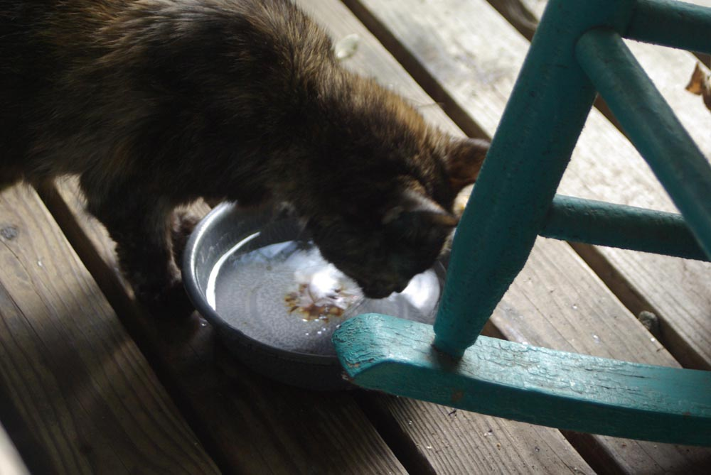 cat drinking from bowl