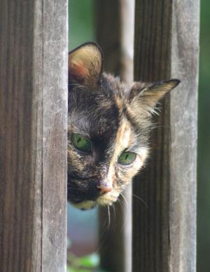 tortie cat looking through railing
