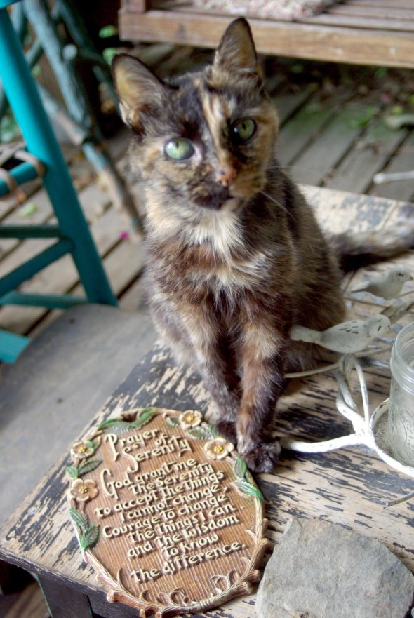 tortie cat with serenity prayer