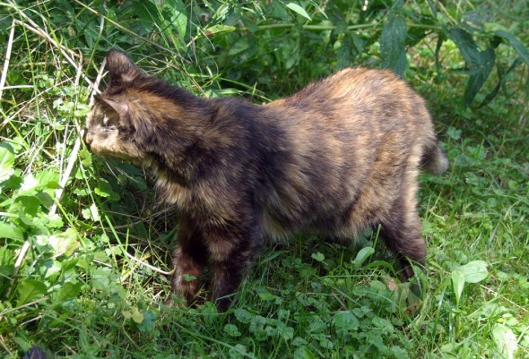 tortie cat in grass