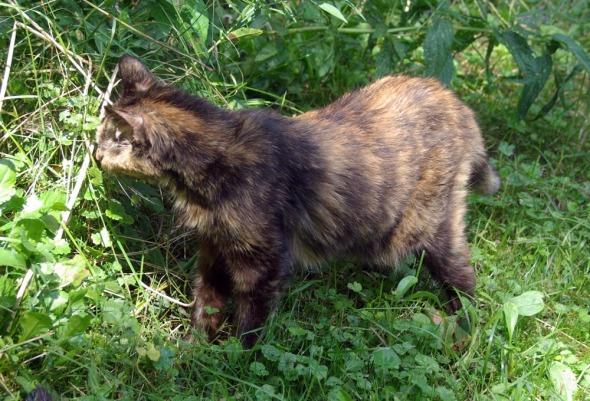 tortie cat in grass