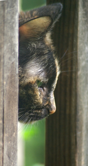 tortie cat in profile
