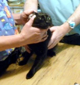 black cat examined