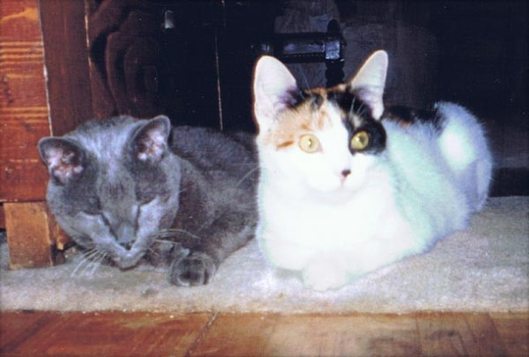 gray cat and calico cat