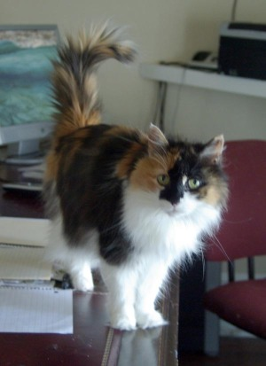 long-haired calico cat