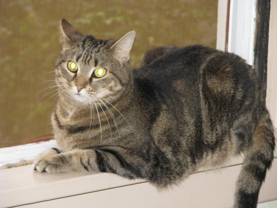 tabby cat on windowsill