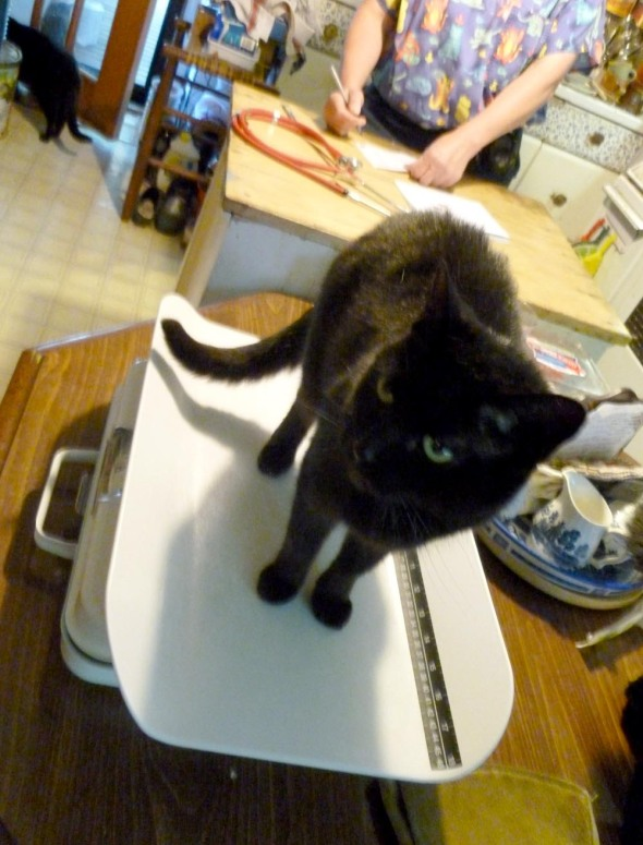 black cat on doctor scale