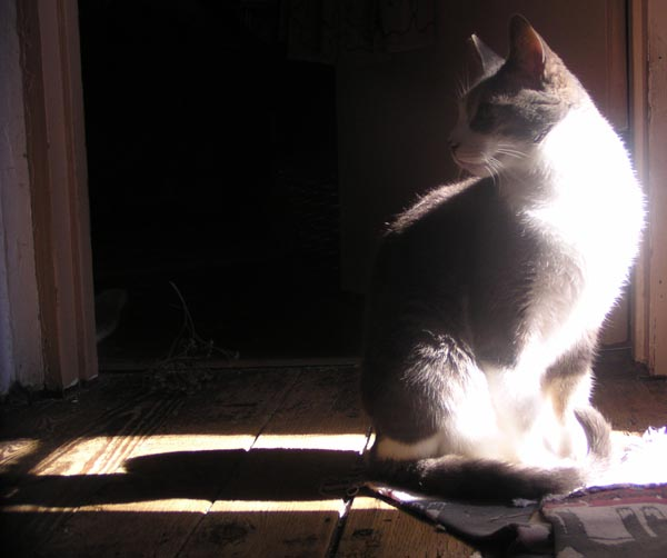 gray and white cat in the sun
