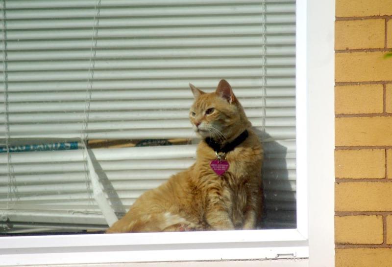 orange cat in window