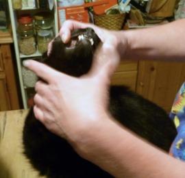 black cat having teeth examined
