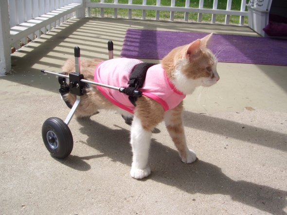 cat in wheelchair