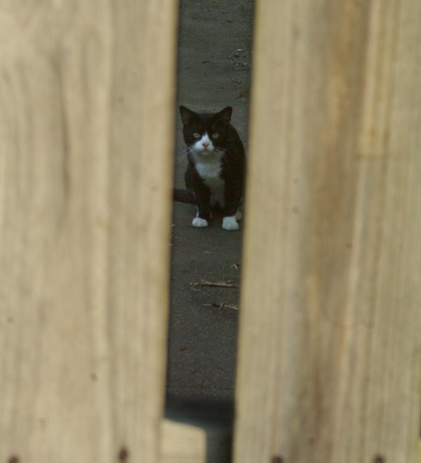 tuxedo cat through fence