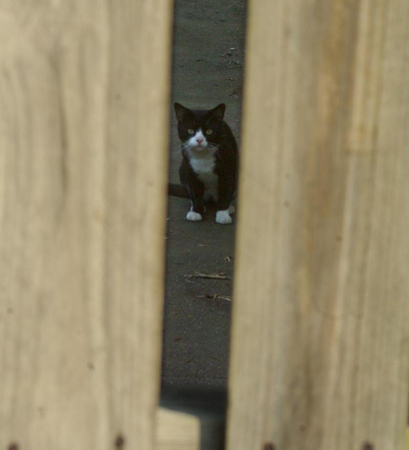 tuxedo cat through fence