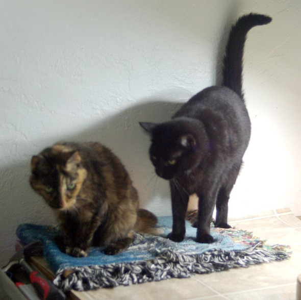 tortie cat and black cat