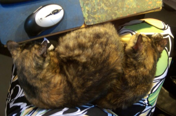 two torties on one lap